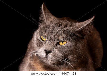 Grey cat black background