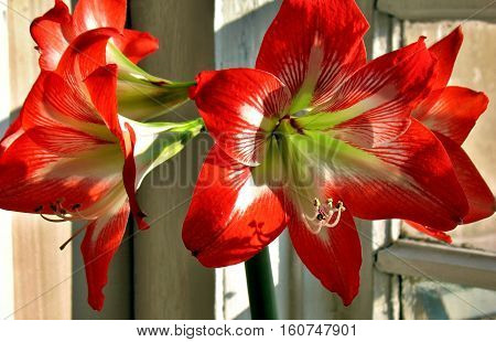 Red Flower On With Latin Name Amaryllis Or Hippeastrum