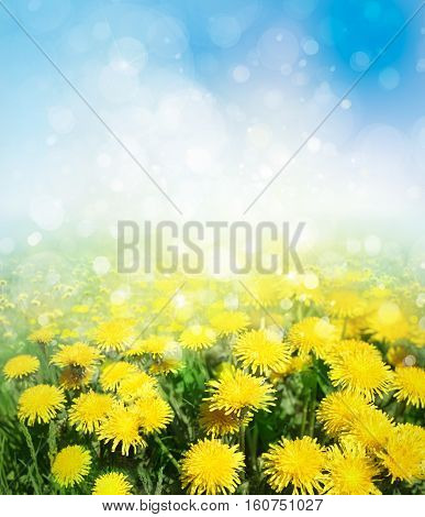 Yellow dandelions flowers field on sunshine background.