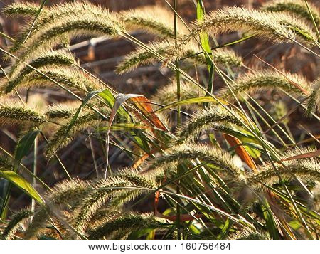 Close-up color image of wild grasses drooping over in a field.