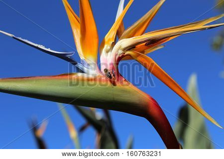 Closeup of Strelitzia Reginae flower (bird of paradise flower) against bright bly sky background and bee sitting on it