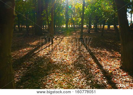 Morning scene in the woods of Richmond Park London