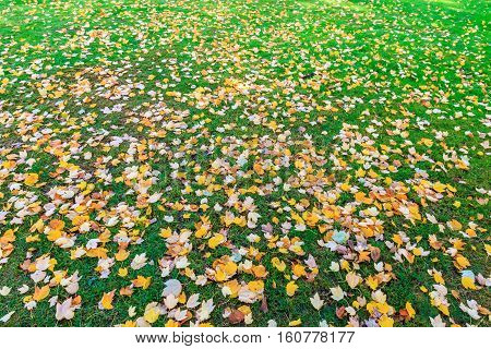 Green lawn full of autumn leaves for background use