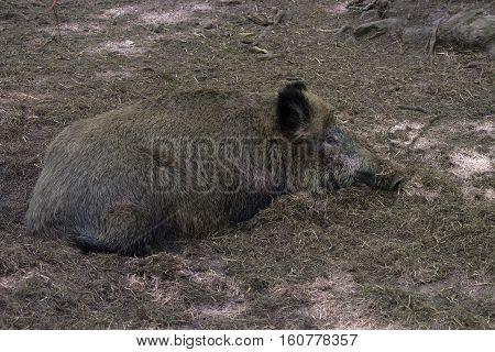 Wild Boar In Bialowieza National Park In Poland