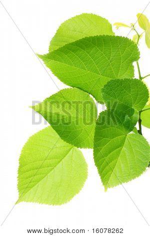Grüne Blätter auf weiß