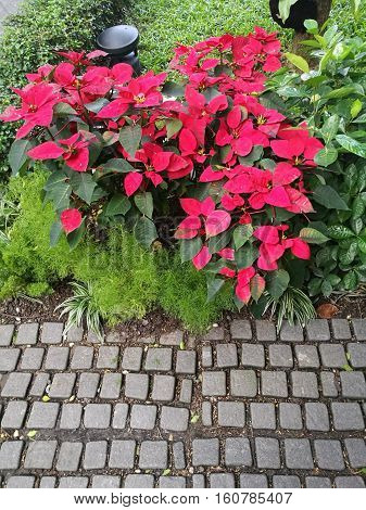 Lovely Poinsettia bush (Xmas tree) with the rock pathway in the garden
