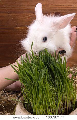 Fluffy White Little Rabbit