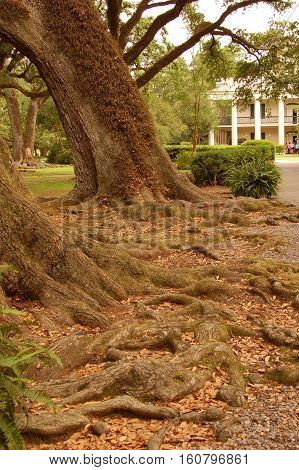 oak trees on a path near Mississippi River in Louisiana