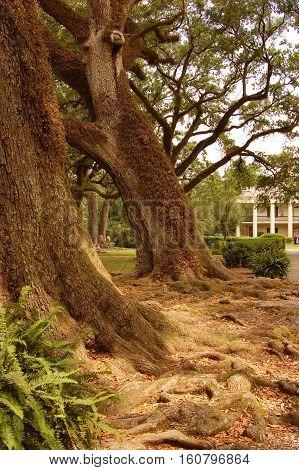 oak trees on path to plantation in Louisiana