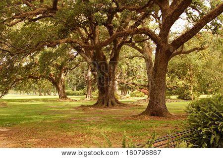 Oak trees along the Mississippi River plantation