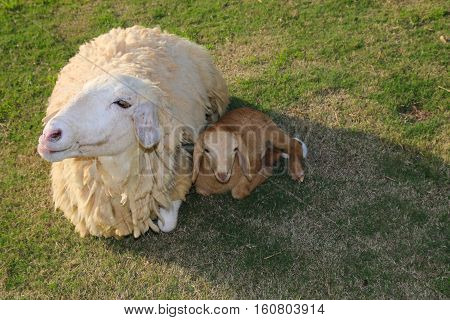 Sheep and lamb sit away from the sun