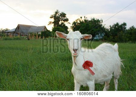 Serious white goat on a grassland with a red bow.
