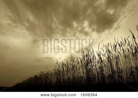 Row Of Wheat At Dusk