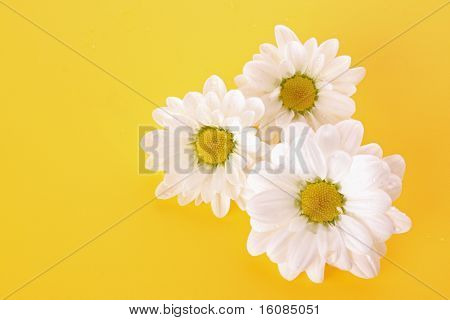 White camomile on yellow background