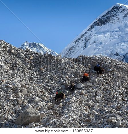 Group Of Black Nepali Yaks Carrying Their Heavy Load With Everest Summit On The Background. Yaks Car