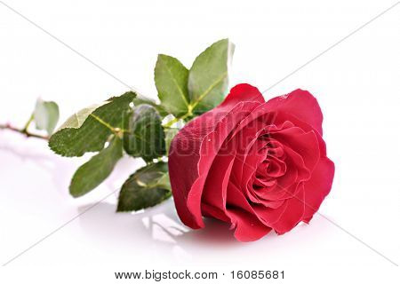 Red rose closeup isolated on white