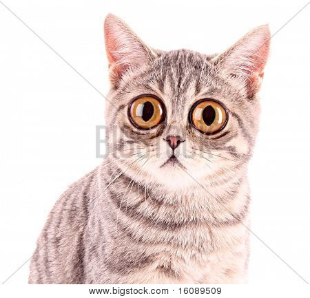 Young funny surprised cat closeup isolated on white