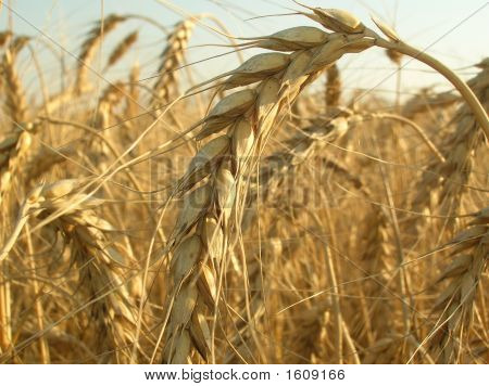 Close-Up Of Golden Wheat