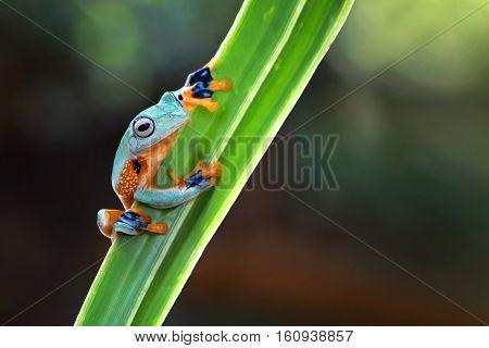 Javan tree frog, beautiful tree frog stay on leaves
