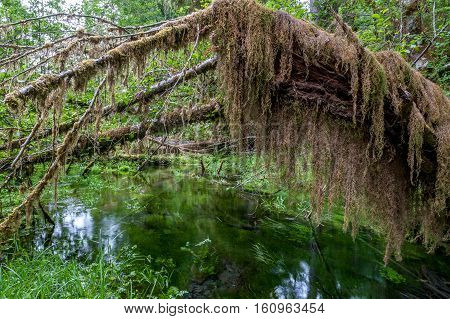 hiking trail with trees covered with moss and pond in the temperate Hoh Rain Forest.Olympic National Park Washington State USA