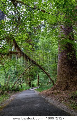 hiking trail with trees covered with moss and bridge in the temperate Hoh Rain Forest.Olympic National Park Washington State USA