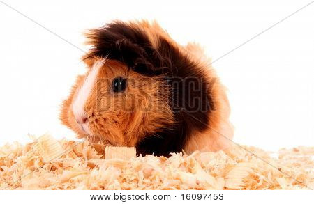 funny brown cavy in sawdust on white background