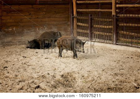 wild boars walking on the sand in a pigsty of zoo