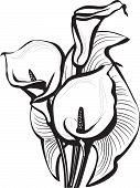 picture of calla lily  - Black and white sketch of calla flowers - JPG