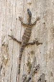 picture of goanna  - a goanna  - JPG