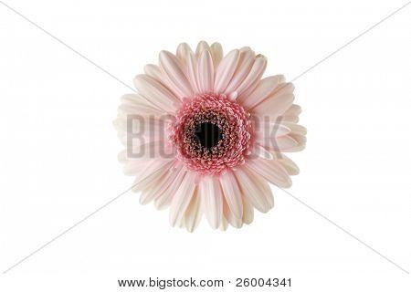 White Pink Gerbera