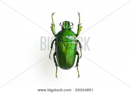 Green emerald beetle specimen