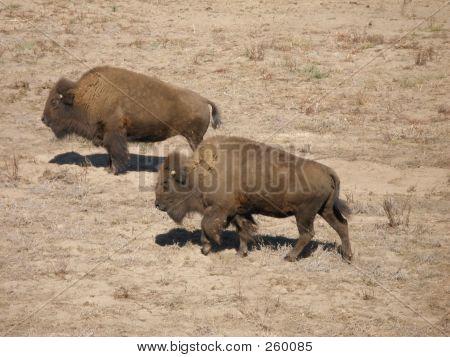 Buffalo Enclosure