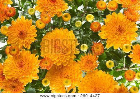 Closeup of vibrant auburn Chrysanthemums bouquet on white - suited as background