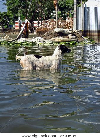 Dog In A Flooded Road