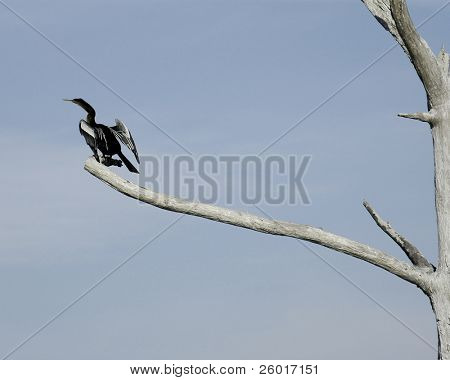 Female anhinga (bird) perched on a distant branch of a dead tree.