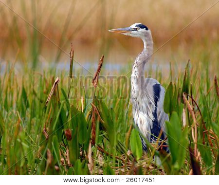 A great blue heron in his natural habitat.  Shallow depth of field with focus on bird's eye.