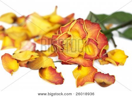Background with wilted rose and colorful petals