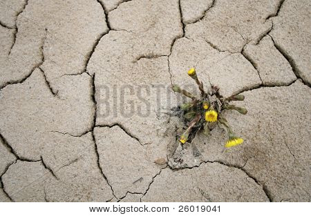 Small yellow flower growing in arid soil