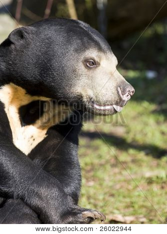 Asiatic black bear (Ursus thibetianus)
