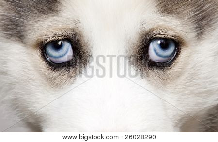 Close up on blue eyes of cute siberian husky puppy