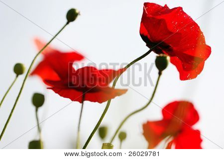 Bright red poppies in sunny day, selective focus