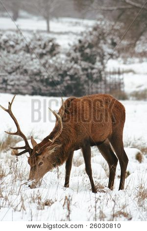 Deer In The Snow Covered Richmond Park