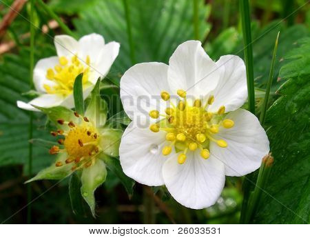 Flower of wild strawberry