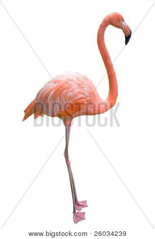 Pink flamingo. Isolated on white