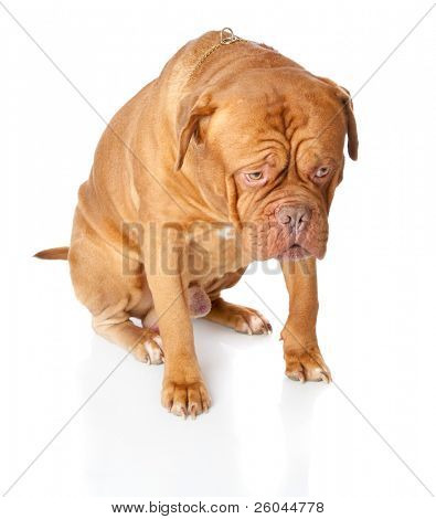 Dogue de Bordeaux (French mastiff). Isolated on white background