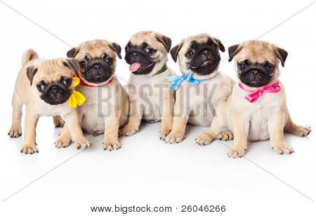 Five puppies of pug. Isolated on white