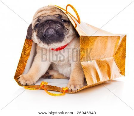 Puppy of pug in bags. Isolated on white
