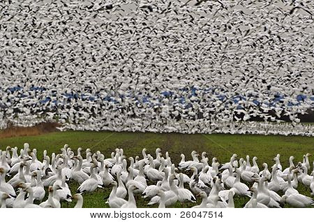 Thousands On Snow Geese On Ground And Air - Fir Island, Washington