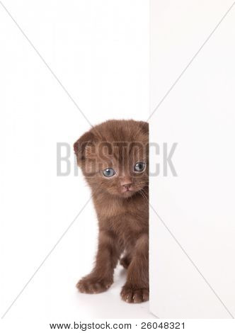 a funny scottish fold kitten is looking out of the wall. isolated on a white background