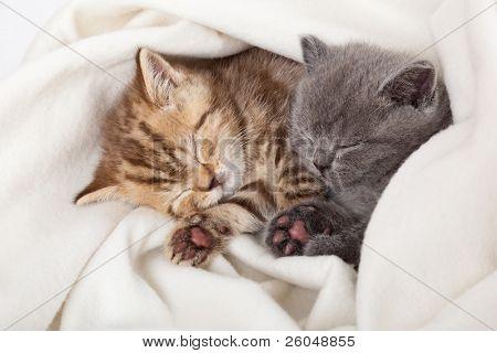 zwei kleine lustige scottish Fold Kätzchen. isoliert auf weißem Hintergrund